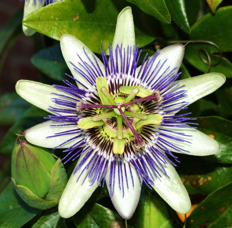 Flor de la fruta de pasión fotos de archivo