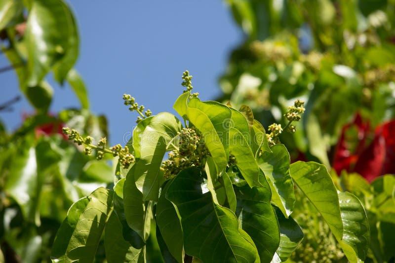 Flor de la fruta de Santol imágenes de archivo libres de regalías