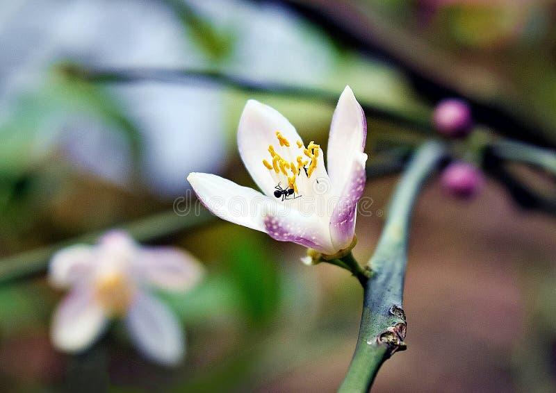 Flor de la fruta del limón foto de archivo libre de regalías