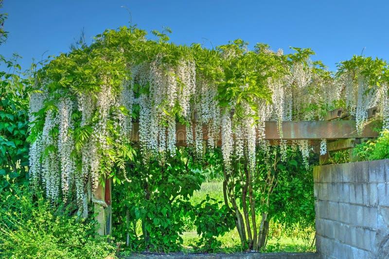 Flor de la glicinia Glicinia fuji imagen de archivo libre de regalías