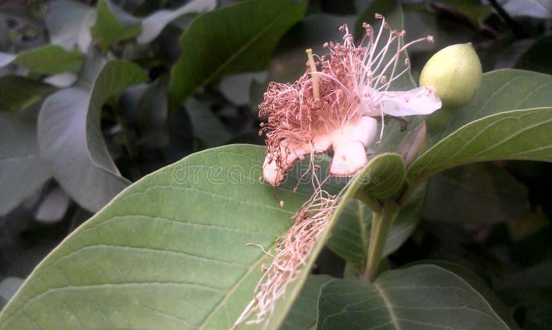 Flor de la guayaba imagen de archivo libre de regalías