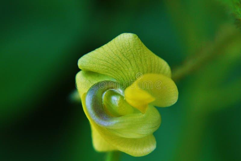 Flor de la haba de Mung imágenes de archivo libres de regalías