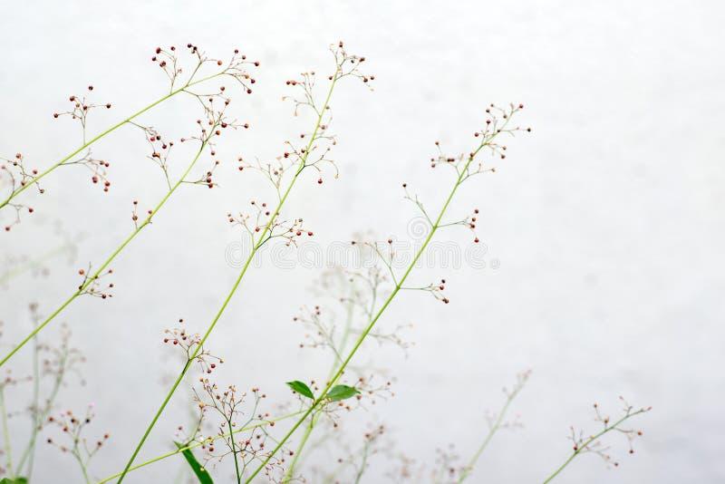 Flor de la hierba del ginseng imagen de archivo libre de regalías
