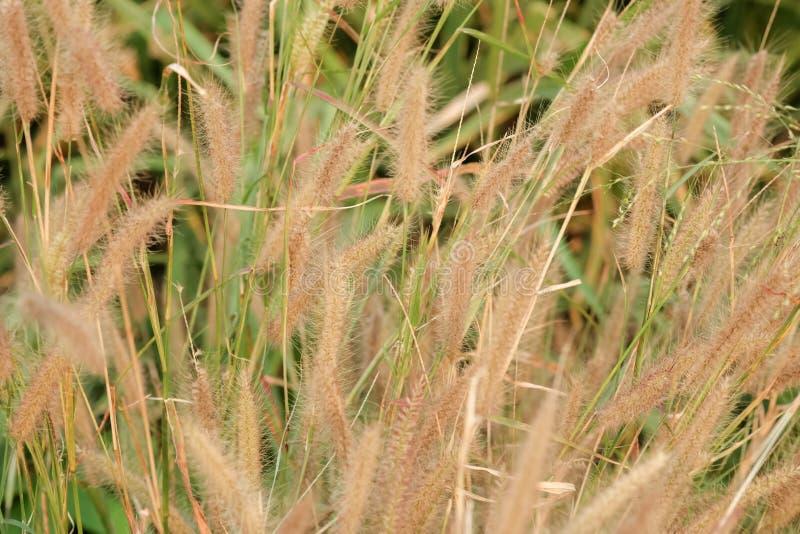 Flor de la hierba del Poaceae imágenes de archivo libres de regalías