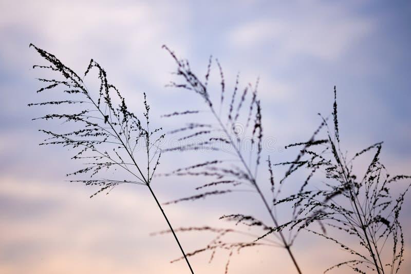 Flor de la hierba del Poaceae en crepúsculo imagen de archivo