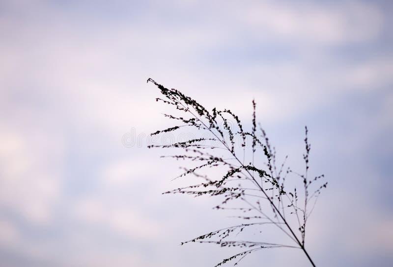 Flor de la hierba del Poaceae en crepúsculo imagen de archivo libre de regalías