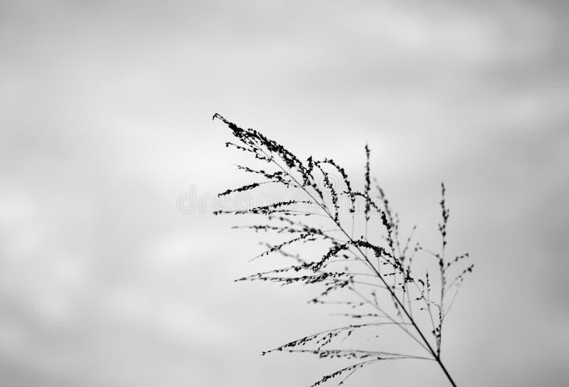 Flor de la hierba del Poaceae en crepúsculo fotos de archivo