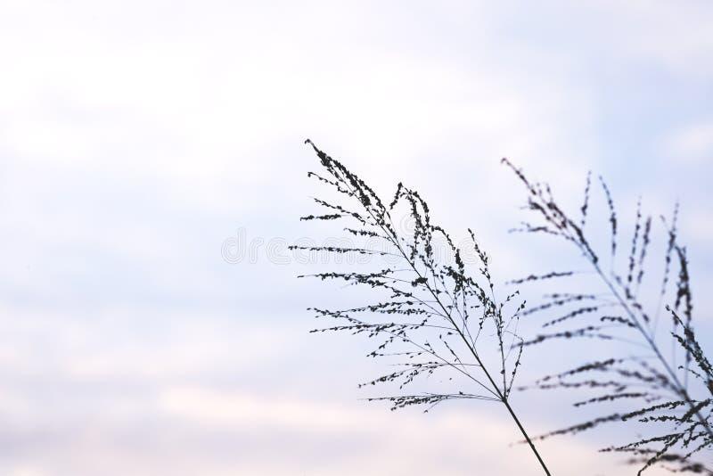 Flor de la hierba del Poaceae en crepúsculo fotografía de archivo