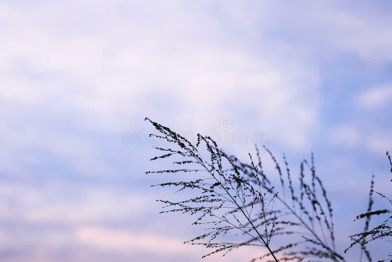 Flor de la hierba del Poaceae en crepúsculo imagenes de archivo
