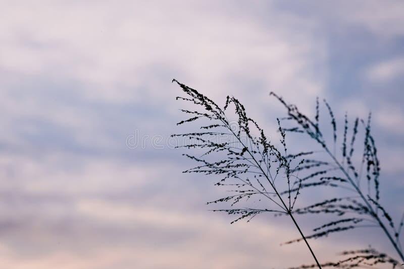 Flor de la hierba del Poaceae en crepúsculo fotos de archivo libres de regalías