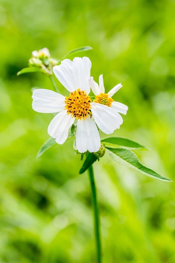 Flor de la hierba del primer imagen de archivo