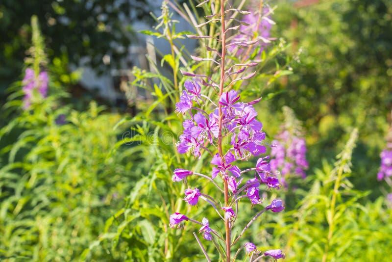 Flor de la hierba del sauce, Ivan-té, té de Kiprei, angustifolium del Epilobium, sally floreciente, planta creciente en el jardín foto de archivo