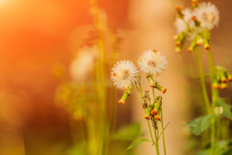 Flor de la hierba por la mañana en la salida del sol con sol de oro fotografía de archivo