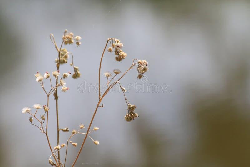 Flor de la hierba seca en invierno hermoso foto de archivo libre de regalías