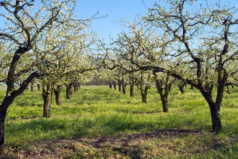 Flor de la huerta de fruta de la primavera en Francia del oeste del sur imagenes de archivo