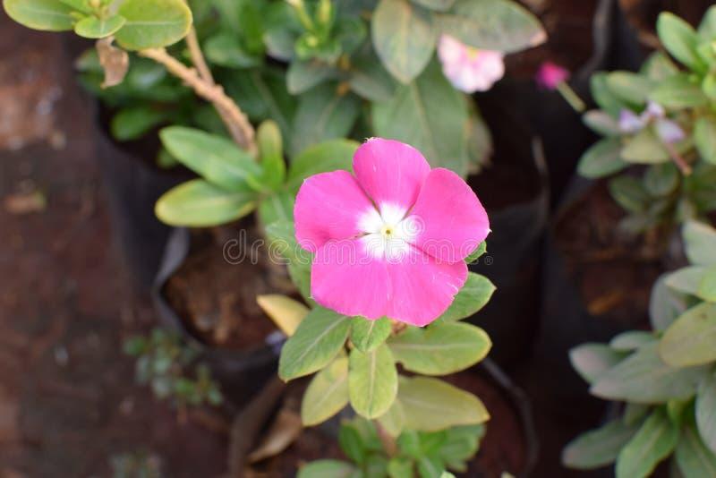¡Flor de la lavanda!! imagen de archivo libre de regalías