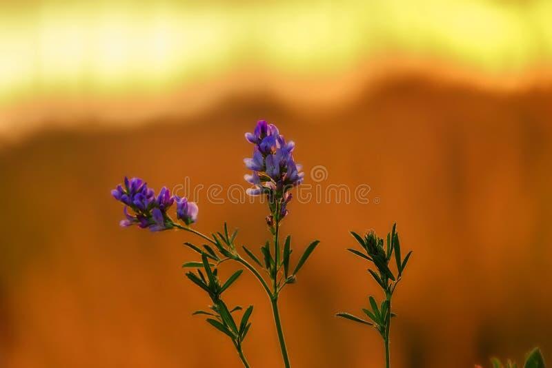 Flor de la lavanda contra el sol poniente Espacio para el texto imagen de archivo