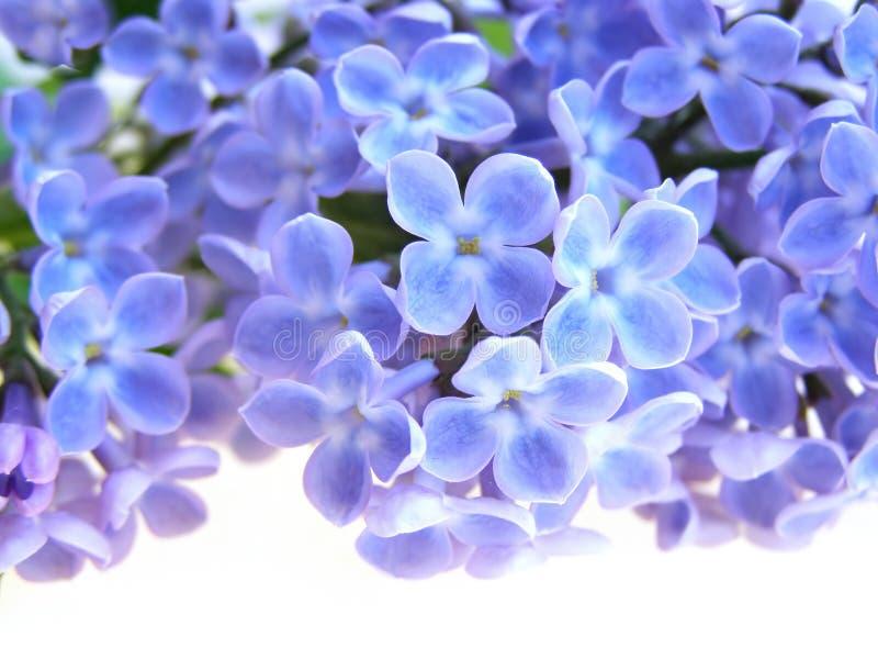 Flor de la lila fotos de archivo