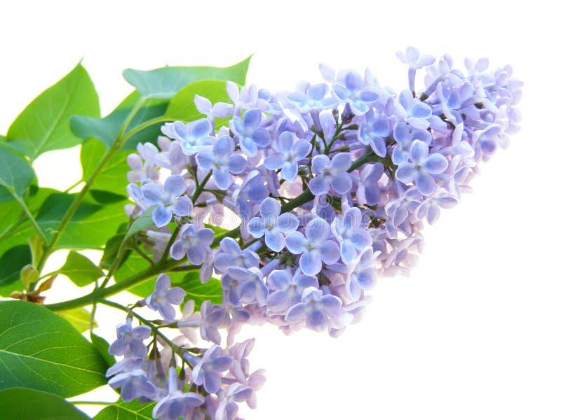 Flor de la lila imágenes de archivo libres de regalías