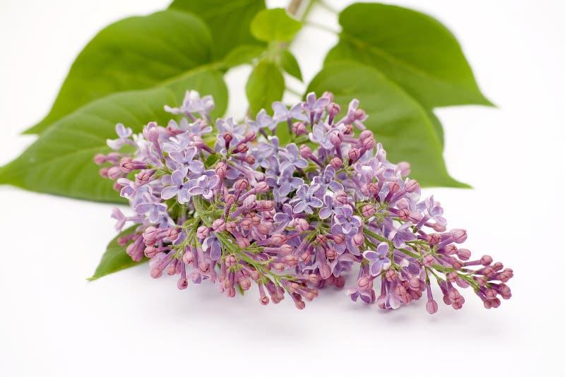 Flor de la lila aislada en blanco imágenes de archivo libres de regalías
