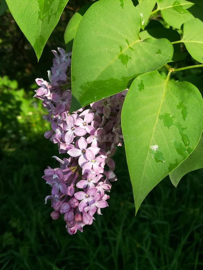 Flor de la lila después de la lluvia imágenes de archivo libres de regalías