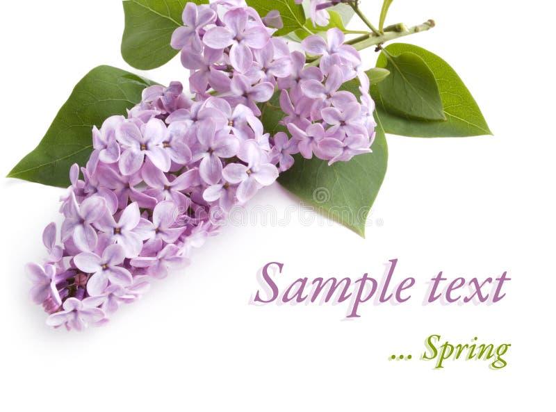 Flor de la lila en blanco fotos de archivo libres de regalías