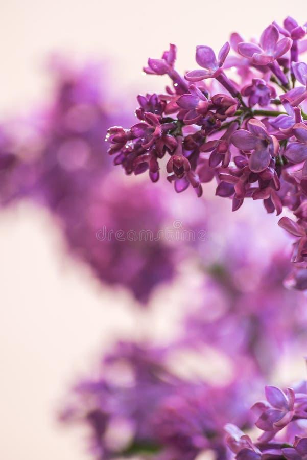 Flor de la lila imagen de archivo libre de regalías
