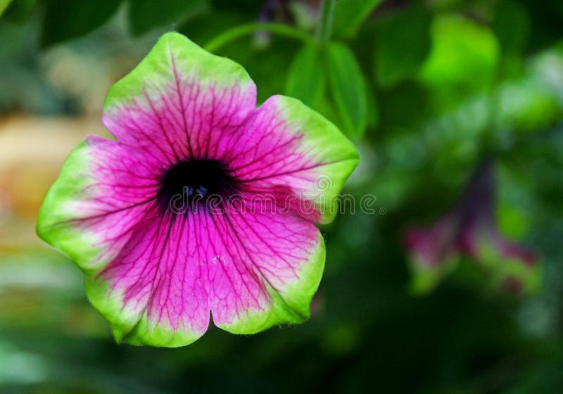 Flor de la luz de la cal de la petunia fotos de archivo libres de regalías