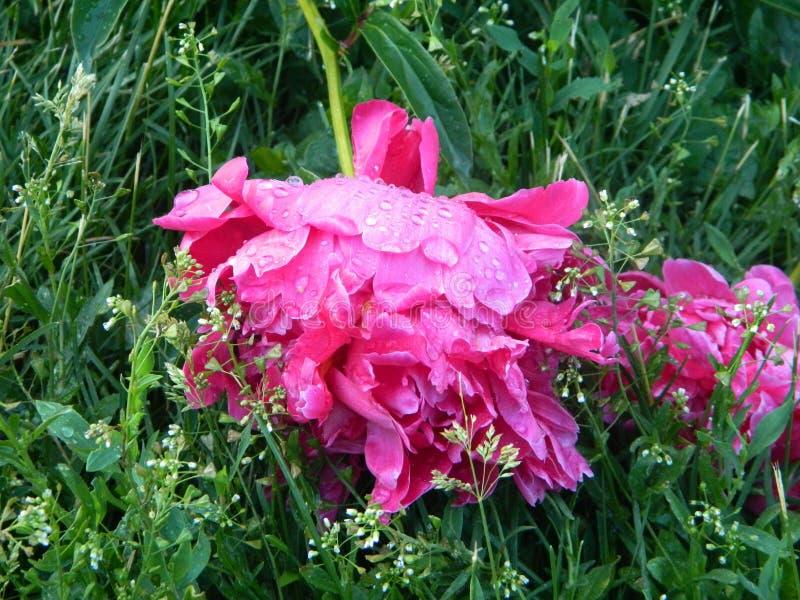 Flor de la mañana fotografía de archivo libre de regalías