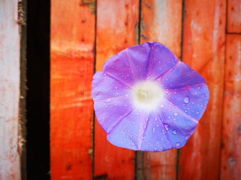 Flor de la mañana que florece después de la lluvia fotos de archivo libres de regalías