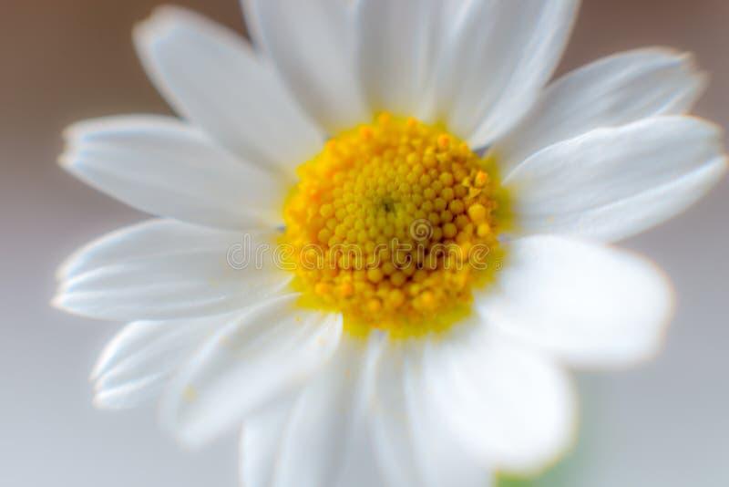Flor de la macro de la manzanilla imagen de archivo