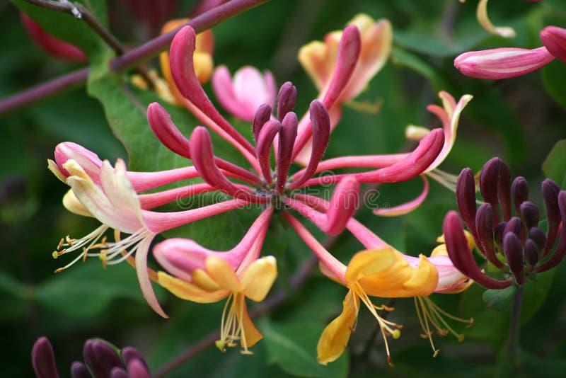 Flor de la madreselva imagen de archivo libre de regalías