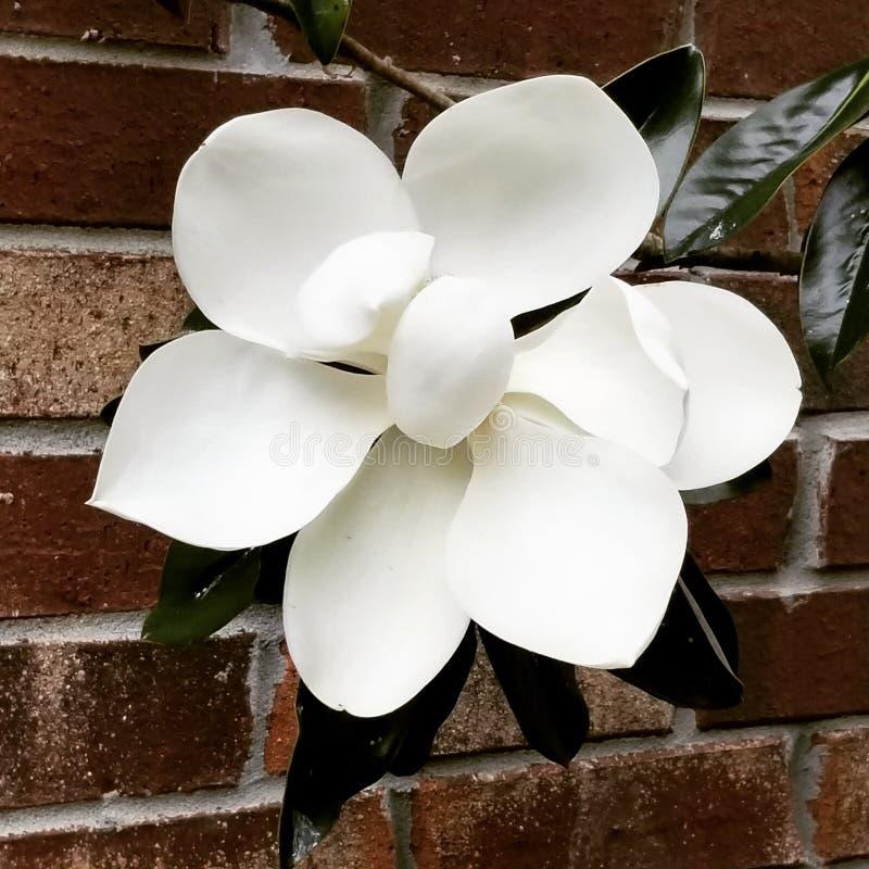 Flor de la magnolia imagen de archivo libre de regalías