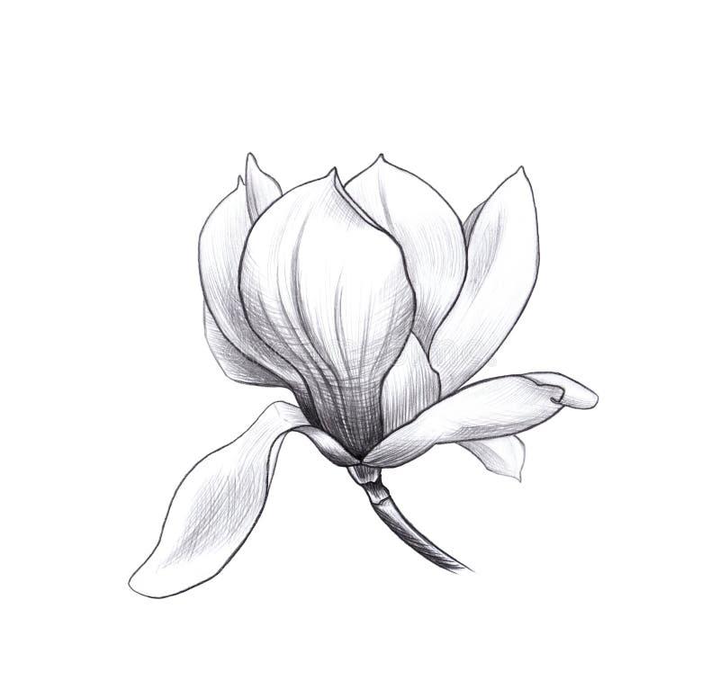Flor de la magnolia, arte de la mano del penci ilustración del vector