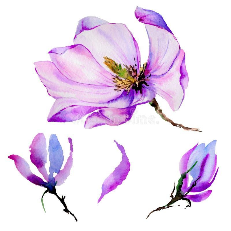 Flor de la magnolia del Wildflower en un estilo de la acuarela aislada libre illustration