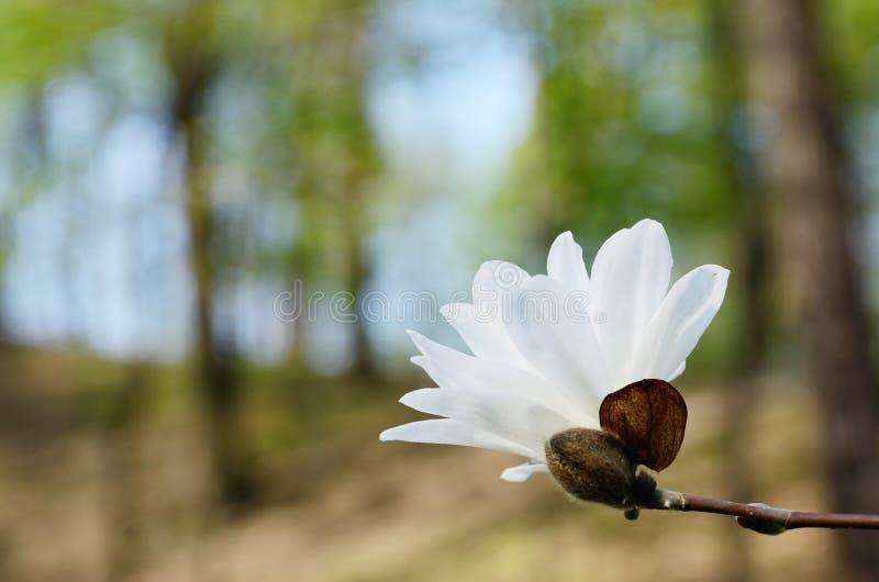 Flor de la magnolia en el parque de la primavera imagen de archivo