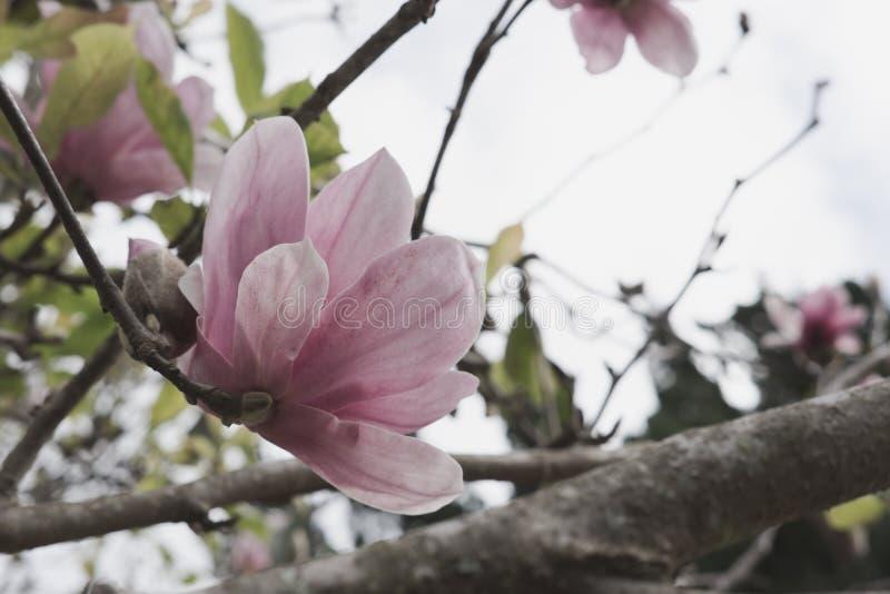 Flor de la magnolia en jardín flora floreciente en parque Flor rosado fotografía de archivo
