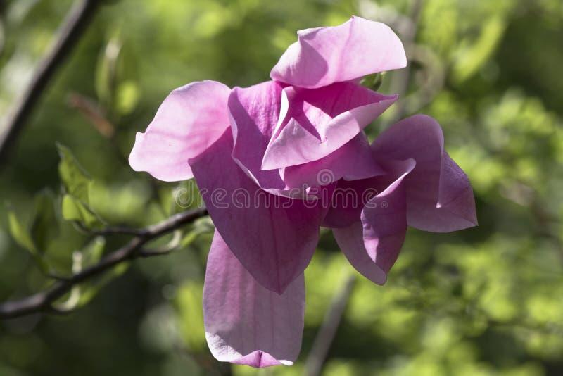 Flor de la magnolia en jardín de la primavera en el árbol en día soleado fotos de archivo libres de regalías