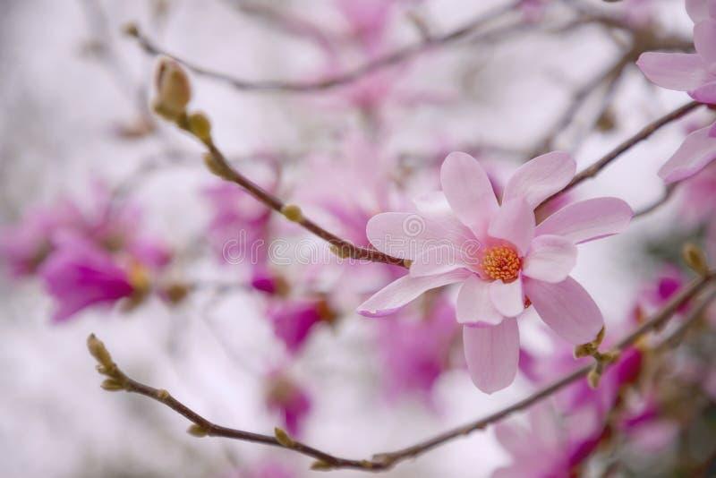Flor de la magnolia en ?rbol de la magnolia fotografía de archivo libre de regalías