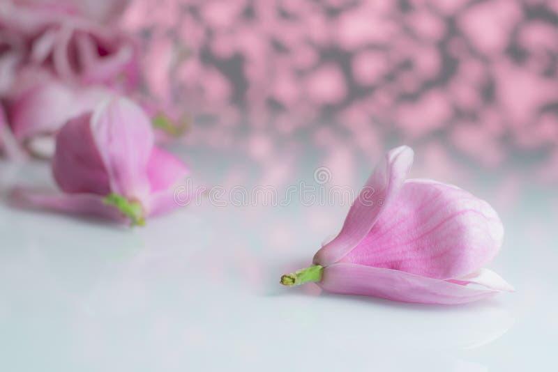 Flor de la magnolia en un tablero blanco imagenes de archivo