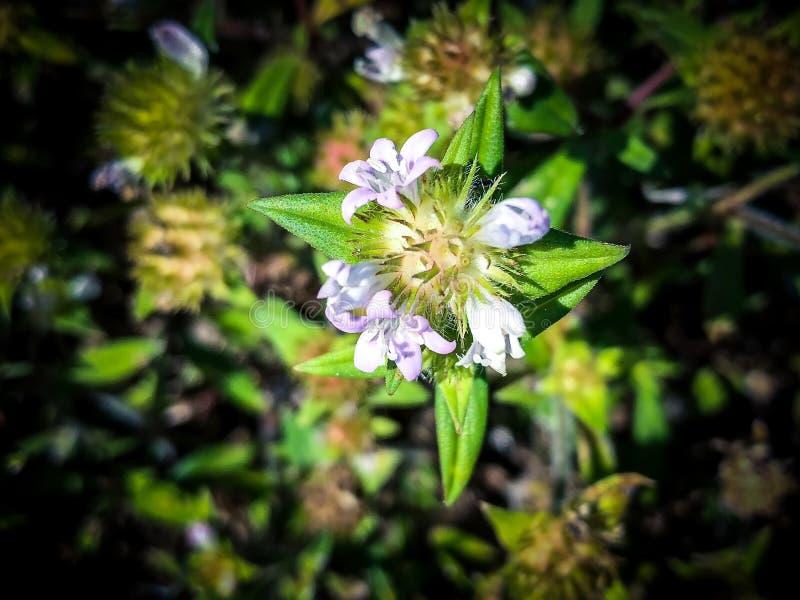 Flor de la mala hierba de cocodrilo imagenes de archivo