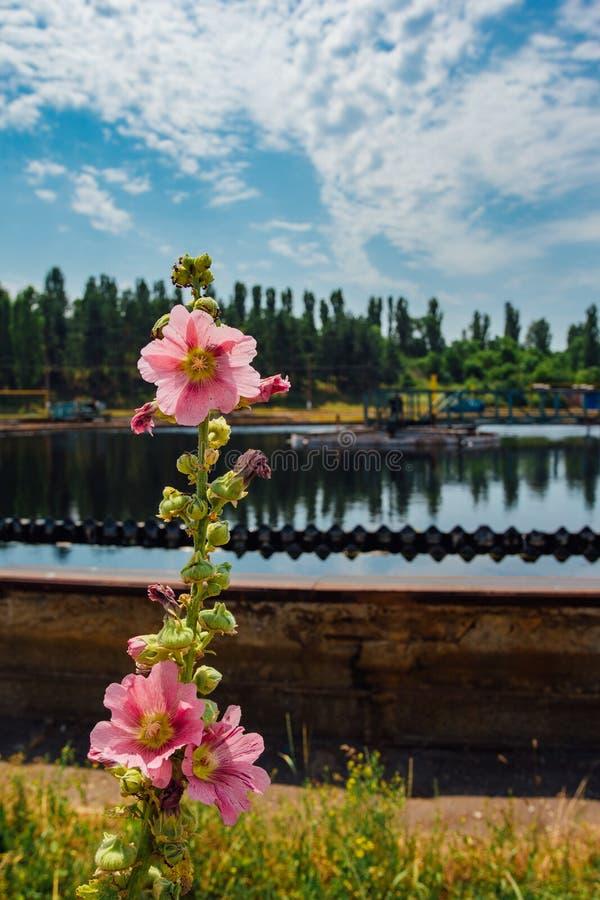 Flor de la malva en fondo de la depuradora de aguas residuales  imagen de archivo libre de regalías