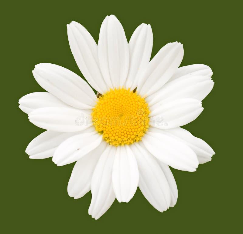 Flor de la manzanilla fotografía de archivo libre de regalías