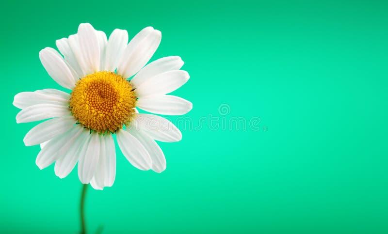 Download Flor de la manzanilla foto de archivo. Imagen de verano - 7281744