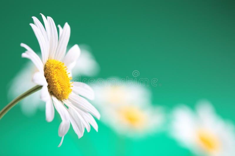 Flor de la manzanilla fotos de archivo libres de regalías