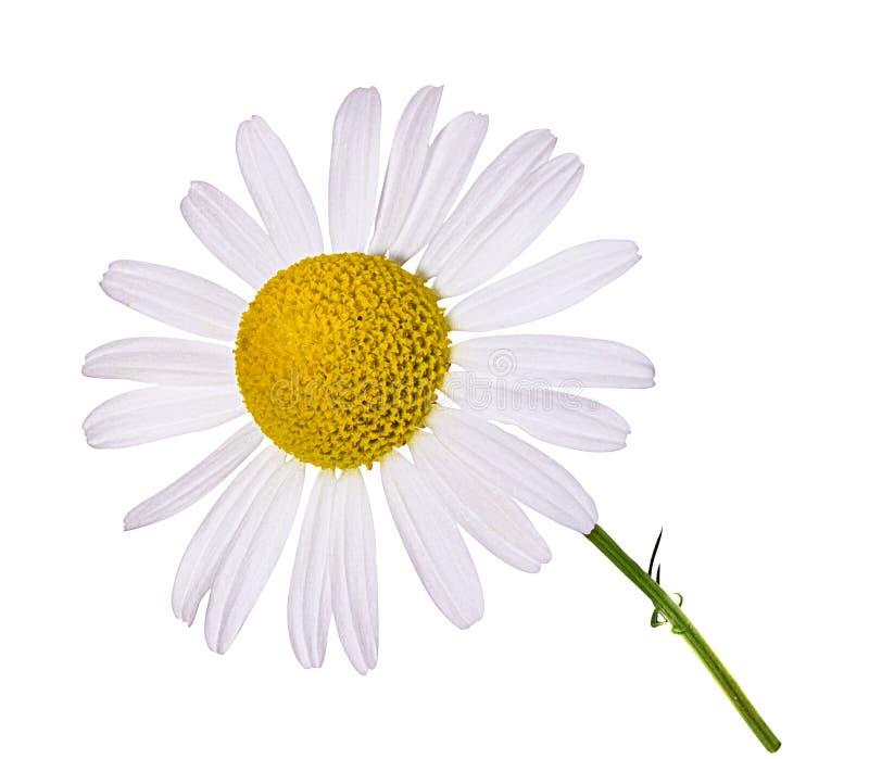 Flor de la manzanilla aislada imagen de archivo libre de regalías