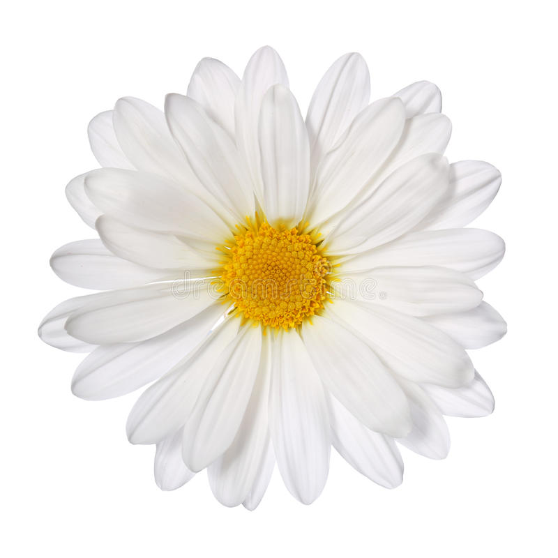 Flor de la manzanilla aislada en blanco. Margarita. fotos de archivo