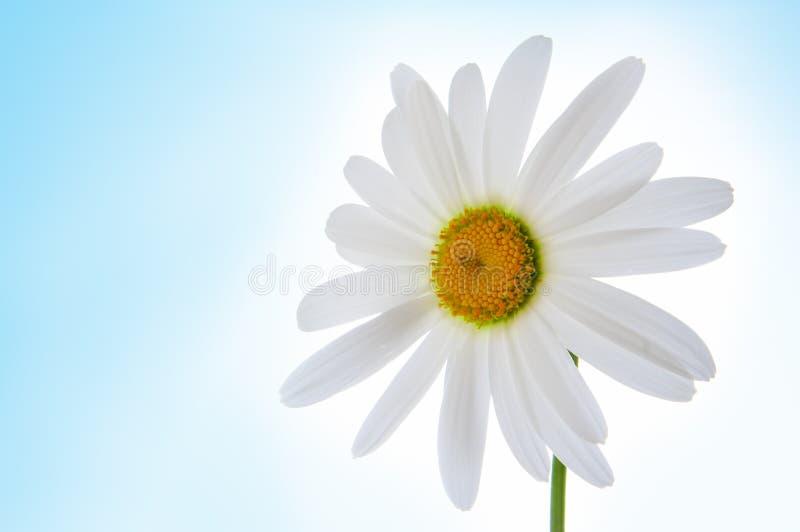 Flor de la manzanilla en azul fotografía de archivo