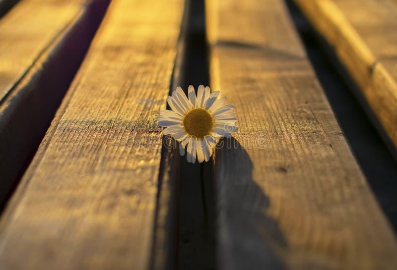 Flor de la manzanilla en contraluz fotos de archivo libres de regalías