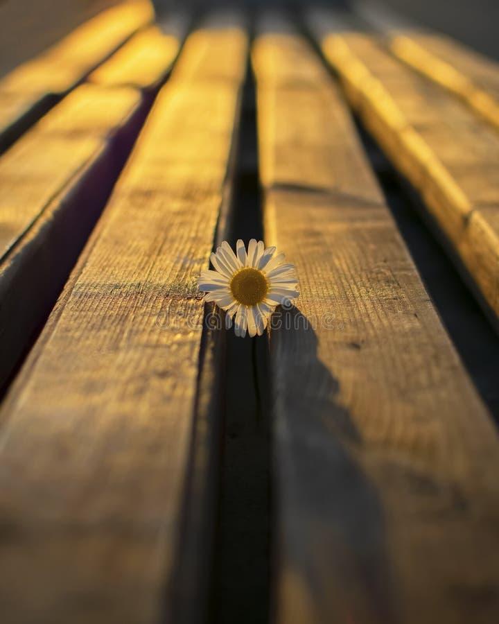 Flor de la manzanilla en contraluz imagenes de archivo
